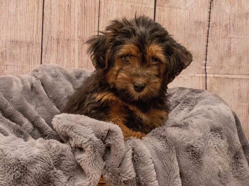 Shihpoo- Available 9/30-DOG-Male-Black and Red-3322445-PetCenter Old Bridge Puppies For Sale