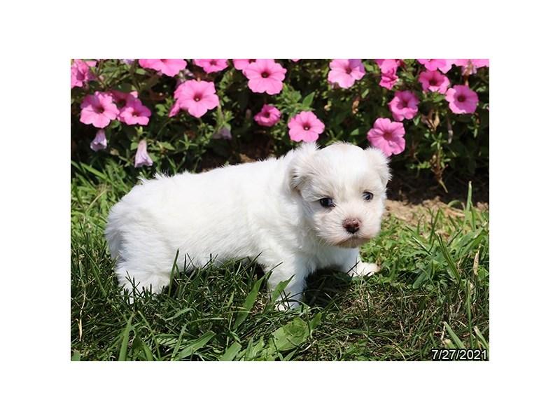 Coton De Tulear-Female-White-3275664-PetCenter Old Bridge Puppies For Sale