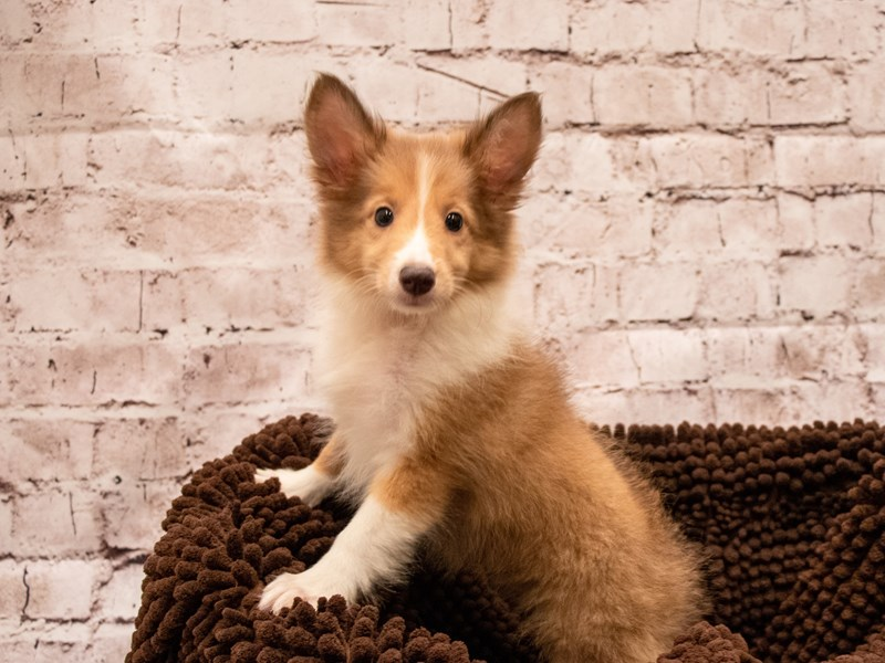 Shetland Sheepdog- Available 9/9-DOG-Female-Sable / White-3293665-PetCenter Old Bridge Puppies For Sale