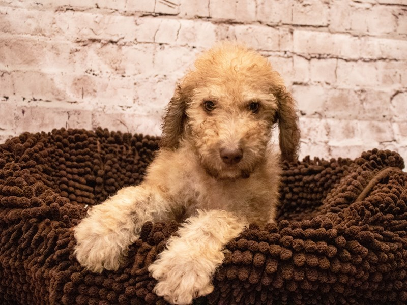 Chesadoodle- Available 9/9-DOG-Female-Light Dead Grass-3295308-PetCenter Old Bridge Puppies For Sale