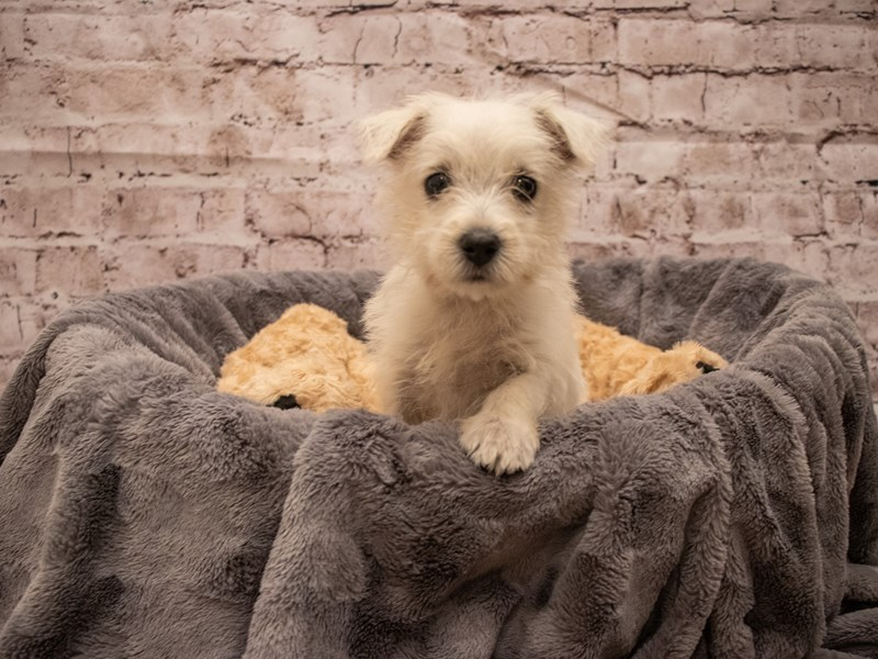 West Highland White Terrier- Available 9/16-DOG-Female-White-3303597-PetCenter Old Bridge Puppies For Sale