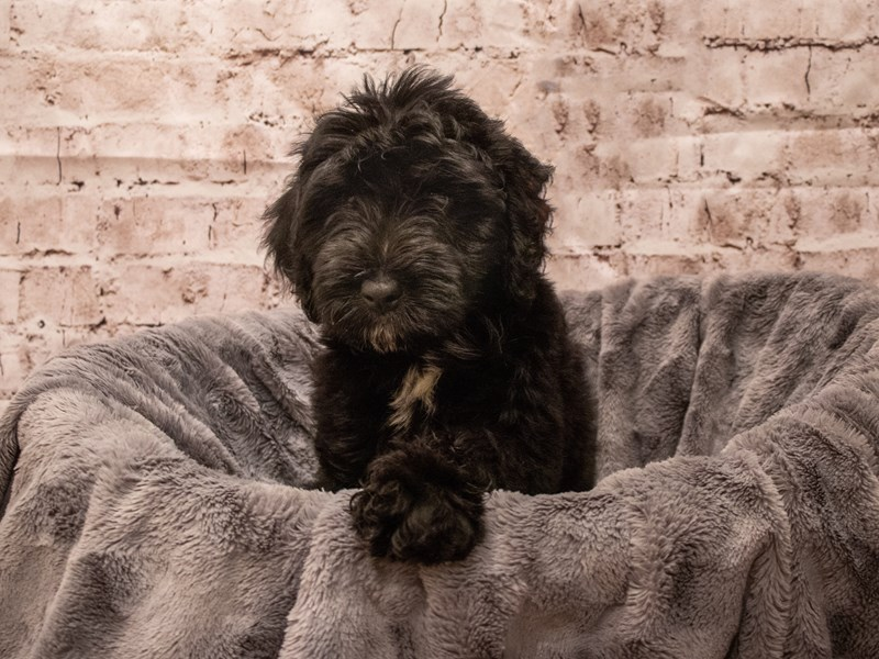 Miniature Aussiedoodle- Available 9/16-DOG-Male-Black-3304720-PetCenter Old Bridge Puppies For Sale
