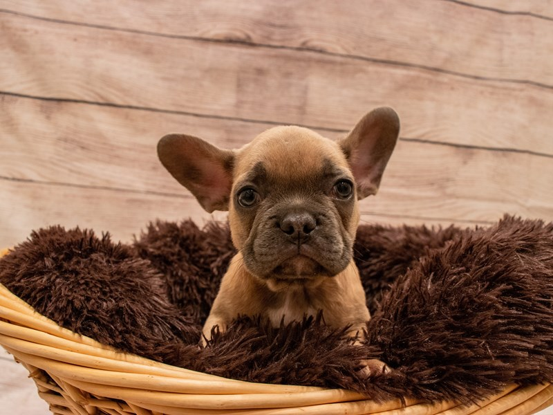 French Bulldog-Male-Blue Fawn-3314091-PetCenter Old Bridge Puppies For Sale