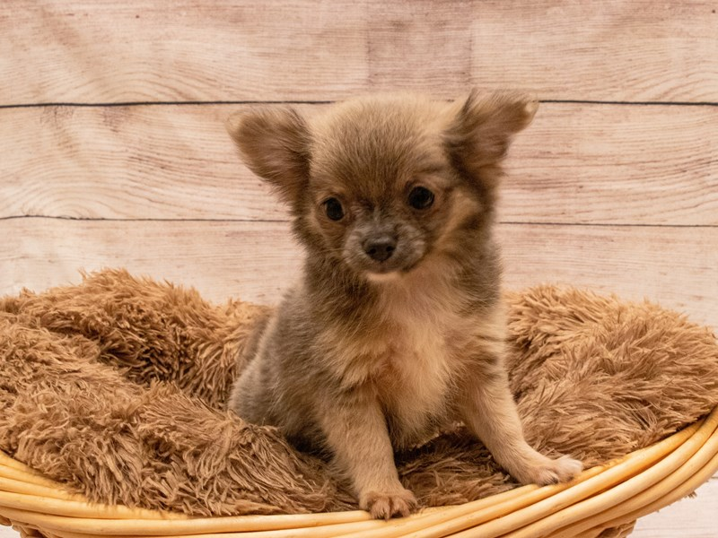 Chihuahua- Available 9/23-DOG-Male-Lavender-3314103-PetCenter Old Bridge Puppies For Sale