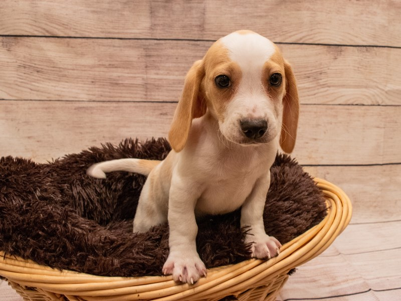Beagle- Available 9/23-DOG-Male-Lemon and White-3313997-PetCenter Old Bridge Puppies For Sale