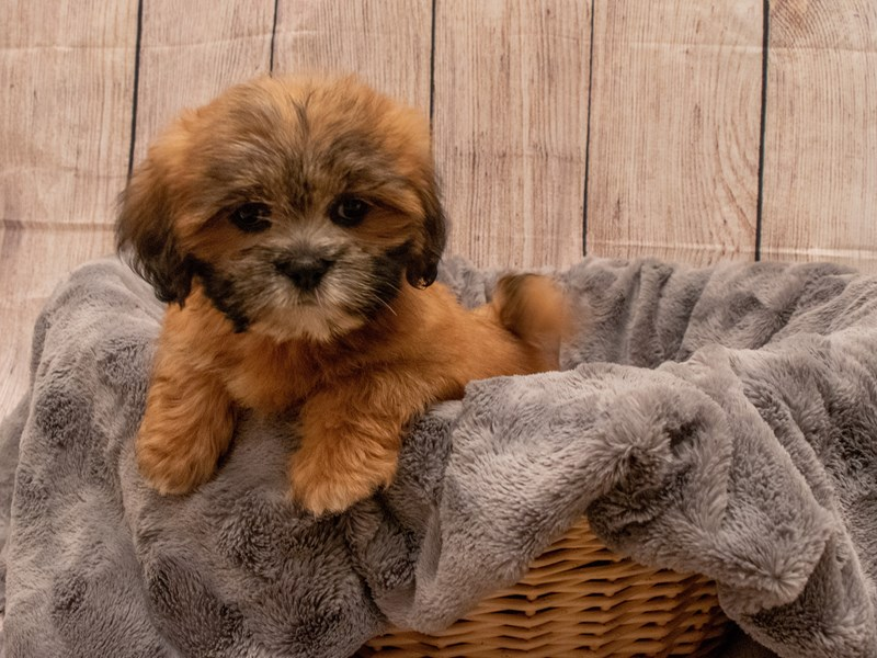 Lhasa Apso- Available 9/30-DOG-Female-Brown-3322200-PetCenter Old Bridge Puppies For Sale