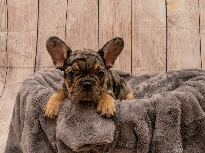 French Bulldog- Available 9/30-DOG-Female-Blue Merle-3322228-PetCenter Old Bridge Puppies For Sale