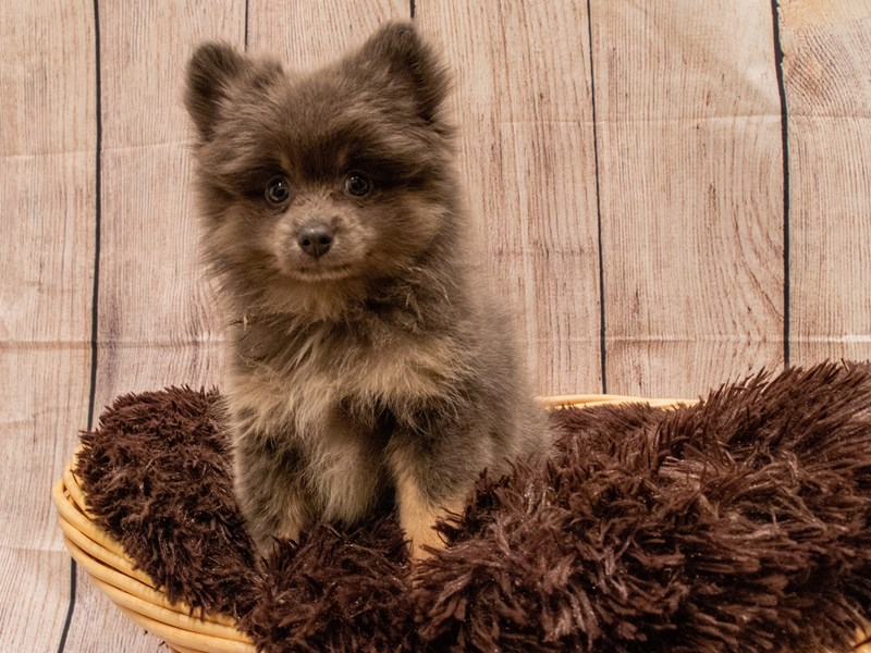 Pomeranian- Available 9/30-DOG-Male-Blue / Tan-3322199-PetCenter Old Bridge Puppies For Sale