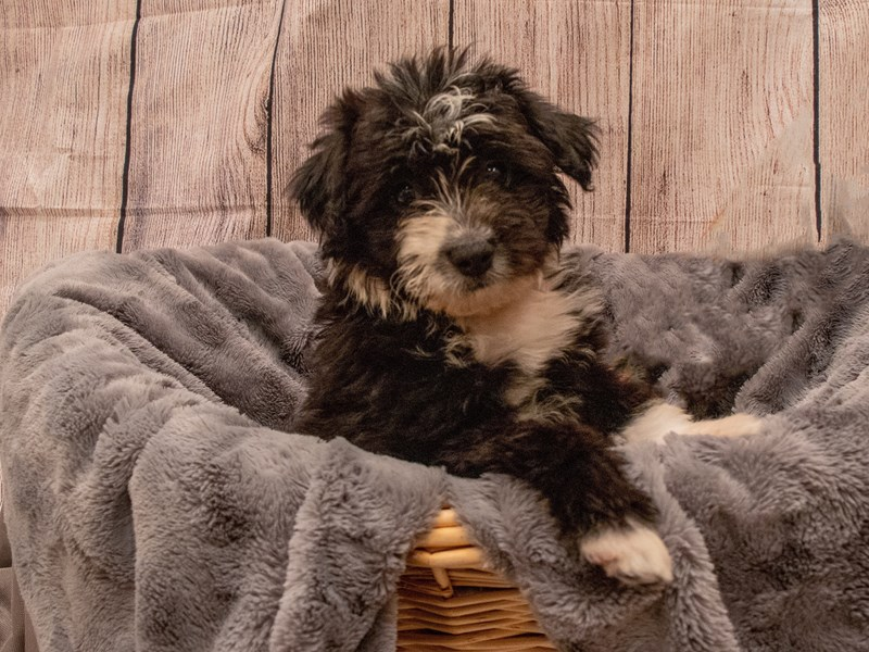 Miniature Aussiedoodle- Available 9/30-DOG-Female-Black and White-3322300-PetCenter Old Bridge Puppies For Sale