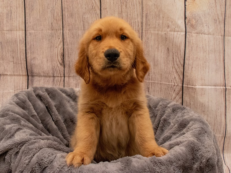 Golden Retriever- Available 9/30-DOG-Male-Golden-3322196-PetCenter Old Bridge Puppies For Sale