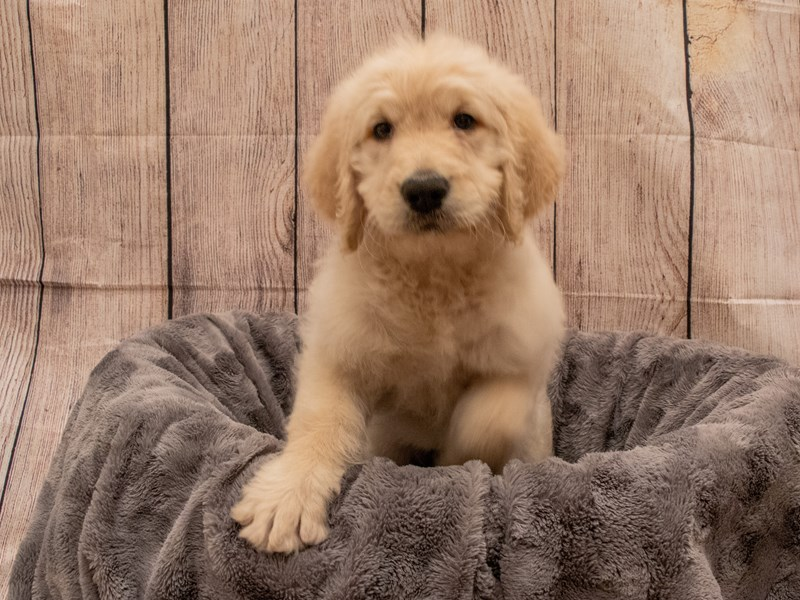 Goldendoodle- Available 9/30-DOG-Female-Golden-3322355-PetCenter Old Bridge Puppies For Sale