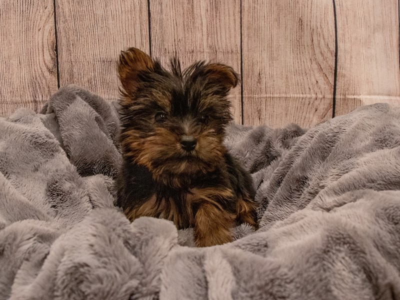 Yorkshire Terrier-Female-Black and Tan-3322289-PetCenter Old Bridge Puppies For Sale