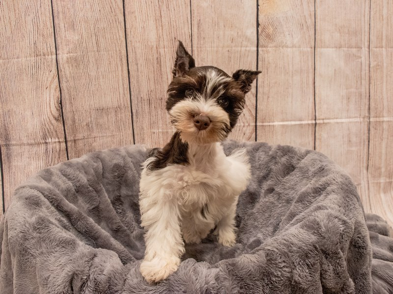 Miniature Schnauzer- Available 9/30-DOG-Male-Chocolate / White-3322197-PetCenter Old Bridge Puppies For Sale