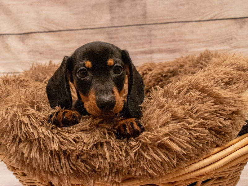 Dachshund- Available 9/23-DOG-Female-Black and Tan-3314023-PetCenter Old Bridge Puppies For Sale