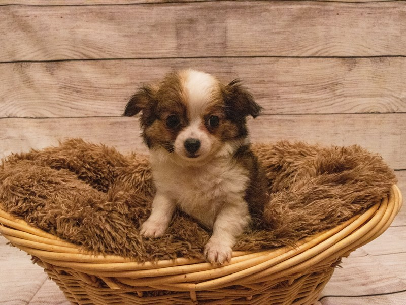 Chihuahua- Available 9/23-Male-dark fawn-3314100-PetCenter Old Bridge Puppies For Sale
