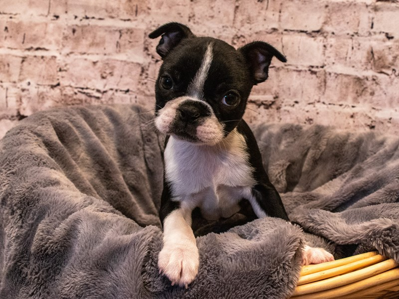 Boston Terrier- Available 10/6-DOG-Female-Black / White-3330961-PetCenter Old Bridge Puppies For Sale