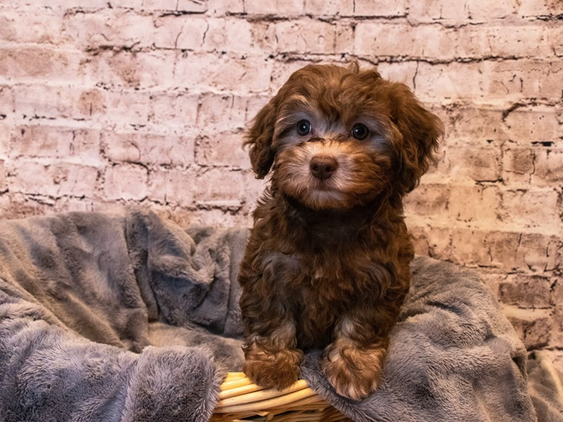 Havapoo- Available 10/6-DOG-Female-Chocolate-3330964-PetCenter Old Bridge Puppies For Sale