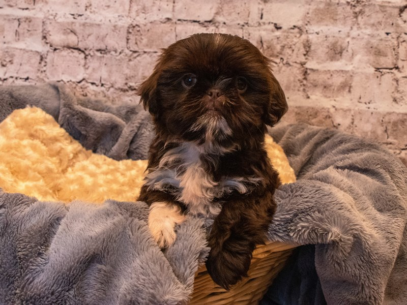 Shih Tzu- Available 10/6-DOG-Female-Chocolate-3331084-PetCenter Old Bridge Puppies For Sale