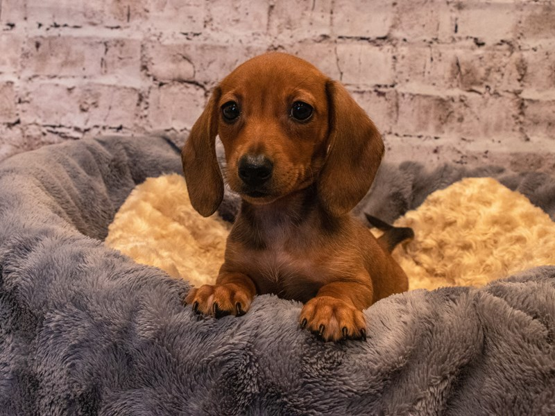 Dachshund- Available 10/6-Male-Wild Boar-3330966-PetCenter Old Bridge Puppies For Sale
