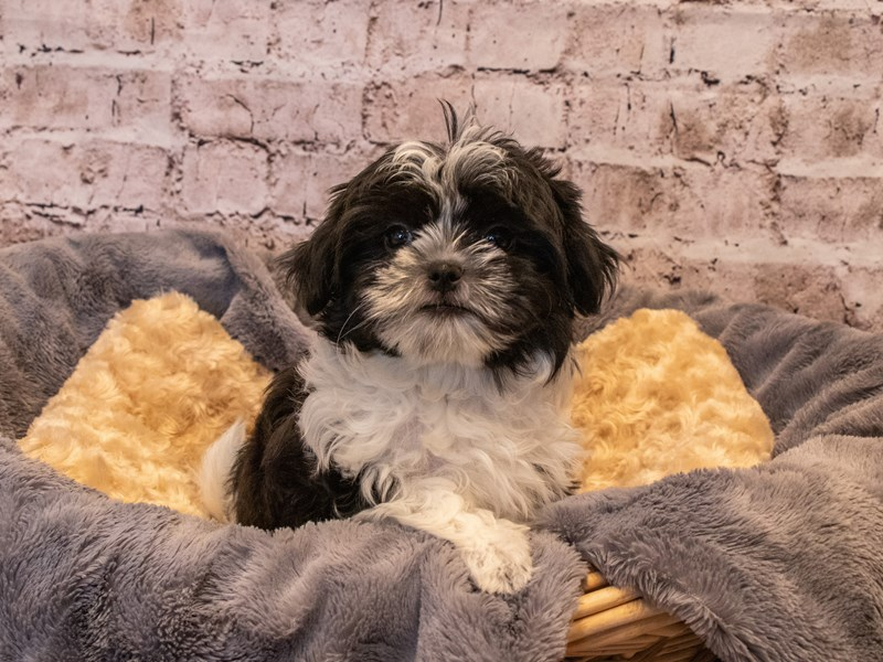 Malshi- Available 10/6-DOG-Female-Black / White-3330971-PetCenter Old Bridge Puppies For Sale