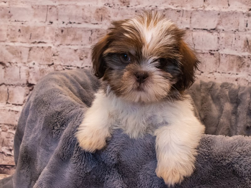 Malshi- Available 10/6-Male-Sable / White-3330970-PetCenter Old Bridge Puppies For Sale