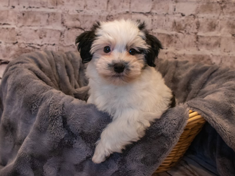 Havanese- Available 10/6-Male-Black / White-3330965-PetCenter Old Bridge Puppies For Sale