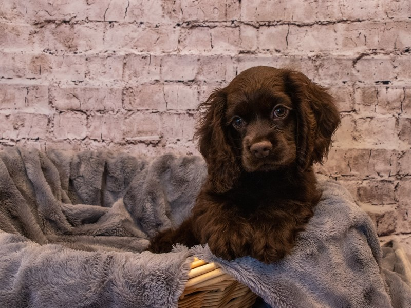 Cocker Spaniel- Available 10/6-DOG-Female-Chocolate-3330968-PetCenter Old Bridge Puppies For Sale