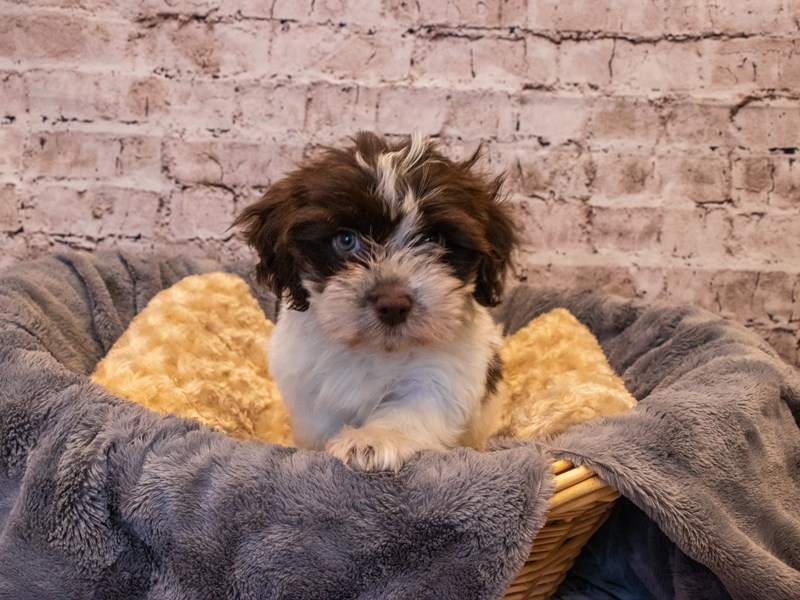 Havanese- Available 10/6-DOG-Male-Chocolate-3332114-PetCenter Old Bridge Puppies For Sale