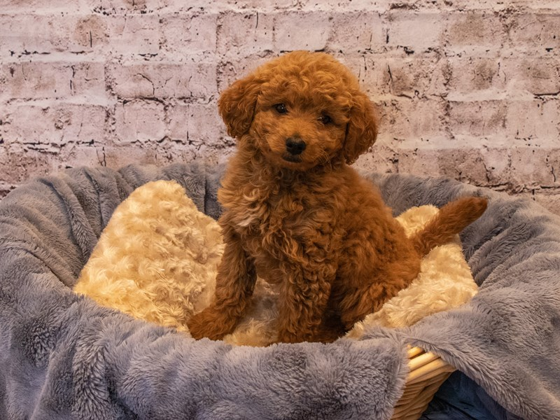 Mini Goldendoodle 2nd Gen- Available 10/6-DOG-Female-Red-3332206-PetCenter Old Bridge Puppies For Sale