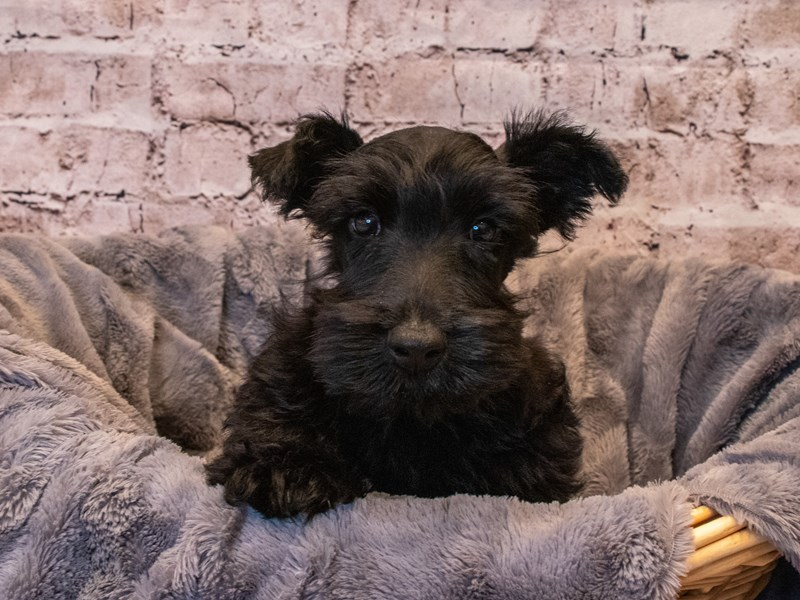 Scottish Terrier- Available 10/6-DOG-Male-Black-3332147-PetCenter Old Bridge Puppies For Sale