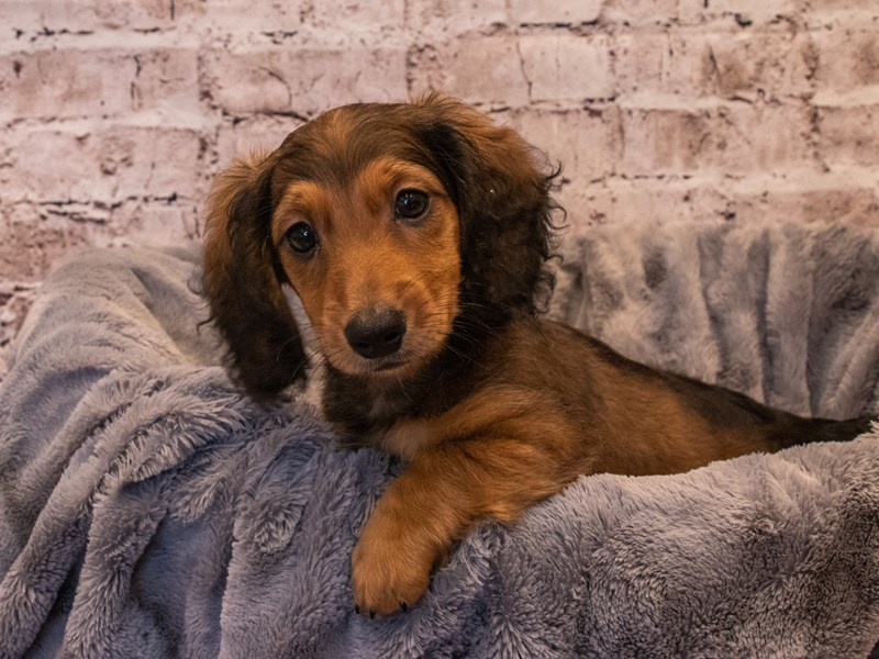 Dachshund- Available 10/6-DOG-Male-Red-3332223-PetCenter Old Bridge Puppies For Sale