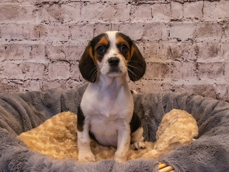 Beaglier- Available 10/6-Female-Black Brown and White-3332231-PetCenter Old Bridge Puppies For Sale