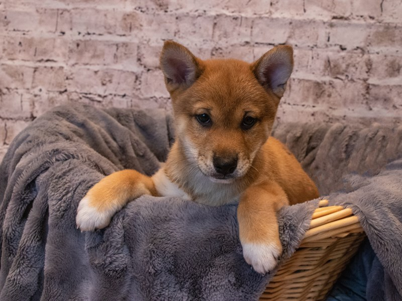 Shiba Inu- Available 10/6-DOG-Male-Red Sesame-3332181-PetCenter Old Bridge Puppies For Sale