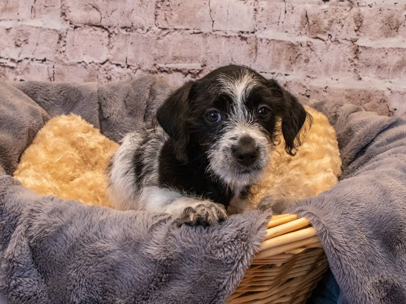 Dorkie- Available 10/6-DOG-Male-Black and White-3332143-PetCenter Old Bridge Puppies For Sale