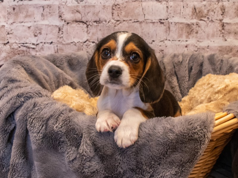 Beaglier- Available 10/6-DOG-Male-Black Brown and White-3332235-PetCenter Old Bridge Puppies For Sale