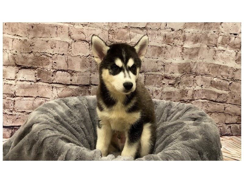 Siberian Husky- Available 10/13-DOG-Male-Black / White-3340682-PetCenter Old Bridge Puppies For Sale